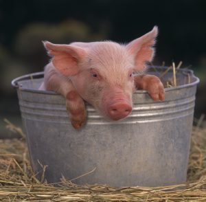 Again, not Tanya's, but it's a piglet. In a pail.