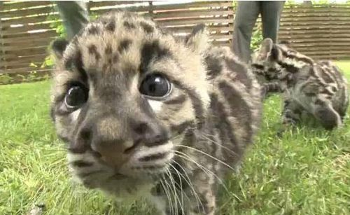 The Nashville Zoo keeps a variety of animals of all sizes, inclyding Clouded Leopard cubs,delighting residents and visitors alike.