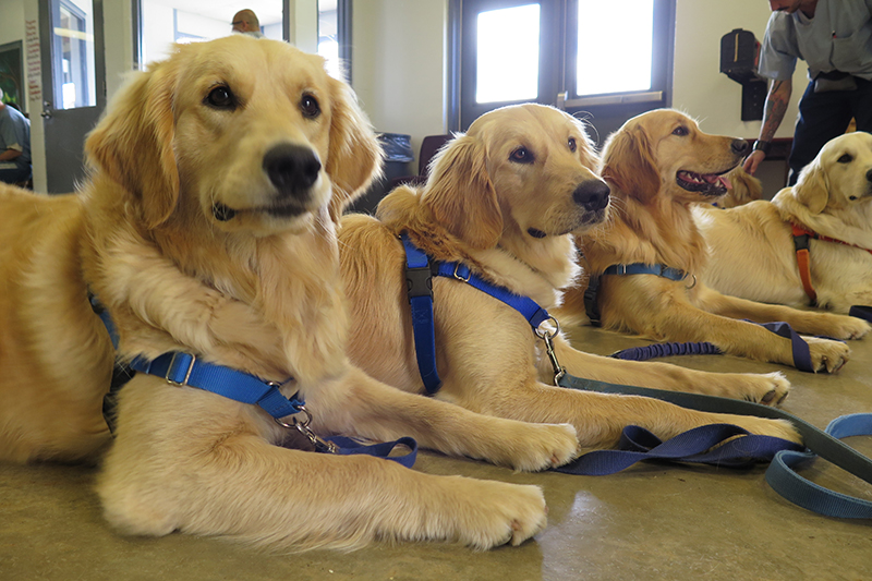 line of golden retrievers sitting down